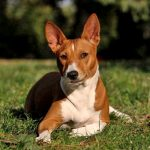 The Basenji – A compact, alert hunting companion!