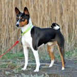 Making your life Basenji-friendly